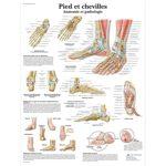 poster anatomie du pied